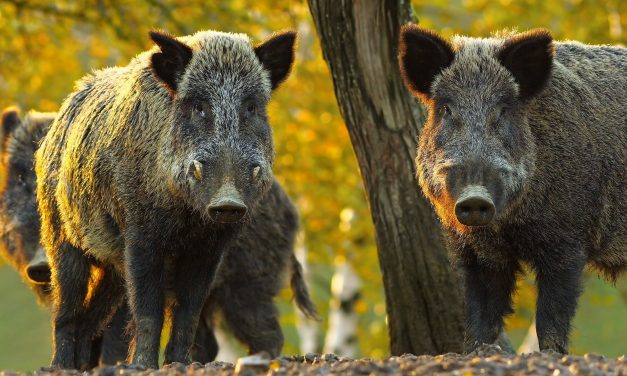 Commissioner Sid Miller Announces Rule Change to Allow Limited Use of Feral Hog Toxicant in Texas