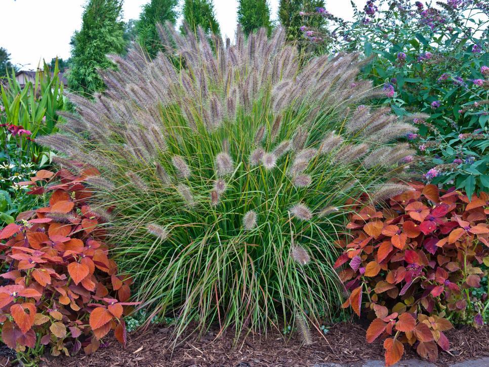 Ci bailey nurseriesdesert plains fountain grasshgndhgtvcom966725g workwithnaturefo