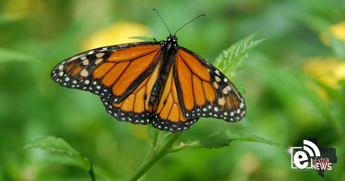 Monarch butterflies on the go || Hunt County Master Gardener