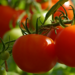 Time to plant your fall tomatoes || Tips from a Master Gardener